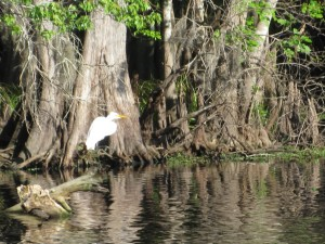 St Johns River Wildlife