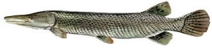 alligator_gar.jpg
