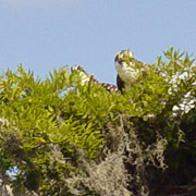 Blue Cypress Lake;Mound Key;Osprey.