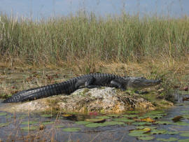 Alligator Alley Gator