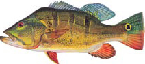 Peacock Bass reports