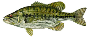 Spotted Bass