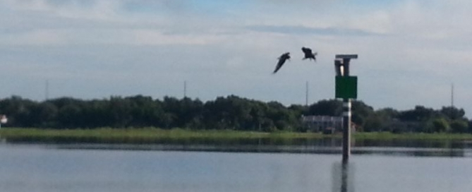 Two Eagles Fishing on Lake Toho