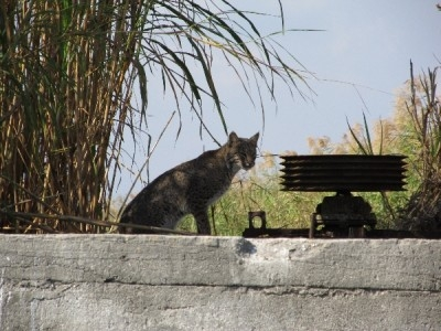 bobcat-on-lake-okeechobee-2011