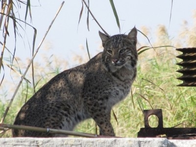 bobcat-on-lake-okeechobee-2011a