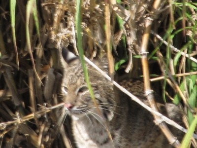 bobcat-on-lake-okeechobee-2011c